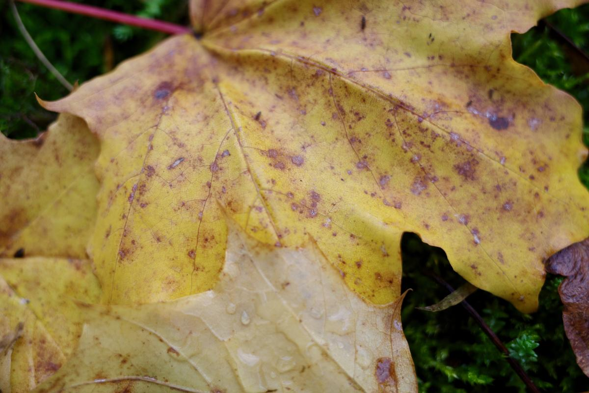 A close-up of a yellow leave with droplets on it