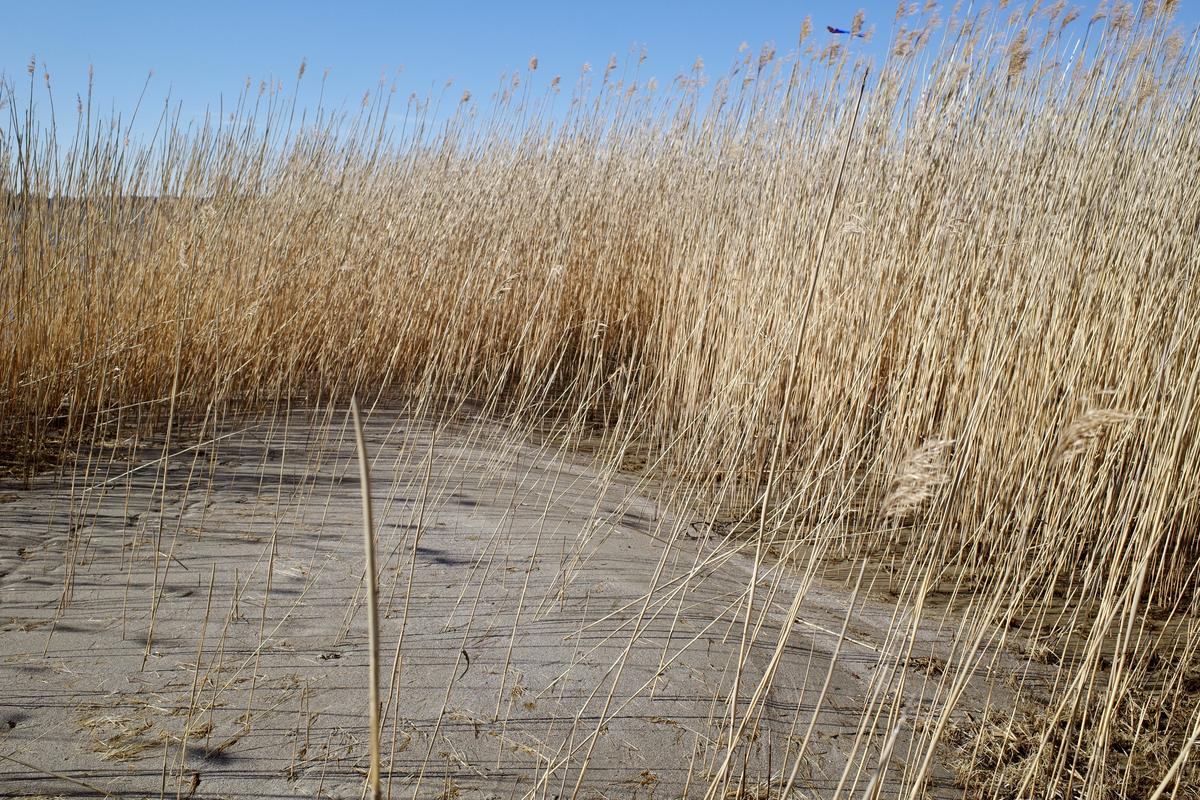 Reeds on a beach. A kite is flying in the sky behind them.